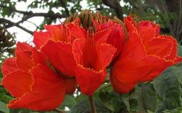 Fiore arancio rosso di Tesu Fotografie Stock Libere da Diritti