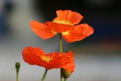 Fiore arancione   Immagini Stock Libere da Diritti