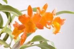Fiore arancione Immagine Stock