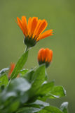 Fiore arancione. Immagine Stock Libera da Diritti