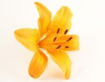 Fiore arancione-chiaro del giglio Fotografie Stock Libere da Diritti