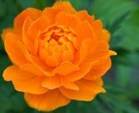 Fiore arancione con le gocce di rugiada Fotografia Stock Libera da Diritti