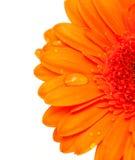 Fiore arancione del gerber con le gocce dell'acqua fotografie stock