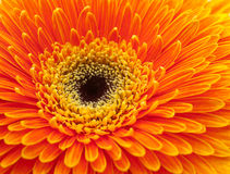 Fiore arancione del gerbera Fotografie Stock Libere da Diritti