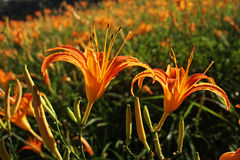 Fiore arancione del giglio Immagini Stock Libere da Diritti