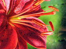 Fiore arancione del giglio Fotografie Stock