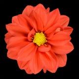 Fiore arancione della dalia con il centro giallo isolato Immagini Stock