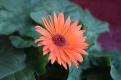 Fiore arancione della margherita del gerbera Fotografia Stock Libera da Diritti