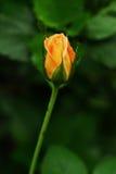 Fiore arancione della Rosa Immagini Stock Libere da Diritti