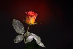 Fiore arancione della Rosa Immagine Stock