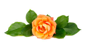 Fiore arancione della Rosa Fotografia Stock Libera da Diritti