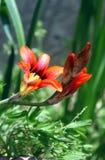 Fiore arancione della sorgente con i germogli Immagine Stock Libera da Diritti