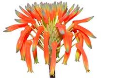 Fiore arancione della vera dell'aloe Fotografia Stock