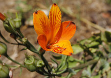 Fiore arancione di colore Fotografie Stock Libere da Diritti
