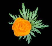 Fiore arancione isolato su priorità bassa nera Fotografia Stock