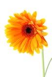 Fiore arancione luminoso del gerbera Immagine Stock