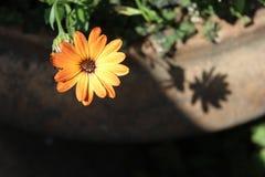 Fiore arancione nel giardino Fotografie Stock