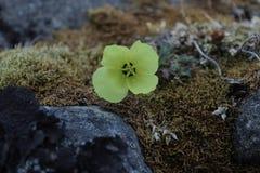 Fiore artico Immagini Stock