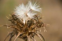 Fiore asciutto Fotografia Stock