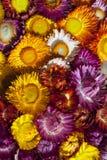 Fiore asciutto della paglia o fiori eterni Fotografia Stock Libera da Diritti