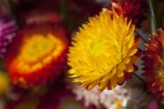 Fiore asciutto della paglia o fiori eterni Fotografia Stock