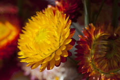 Fiore asciutto della paglia o fiori eterni Fotografie Stock Libere da Diritti
