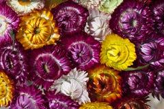 Fiore asciutto della paglia o fiori eterni Immagini Stock