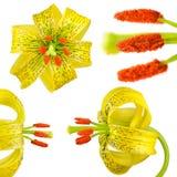 Fiore asiatico giallo del giglio su bianco Fotografia Stock
