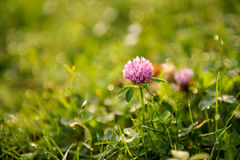 Fiore autonomo sul fondo dell'erba nel campo Fotografie Stock