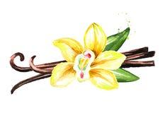 Fiore, baccelli e foglie gialli della vaniglia Illustrazione disegnata a mano dell'acquerello, isolata su fondo bianco illustrazione vettoriale