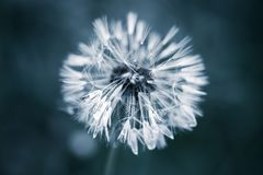 Fiore bagnato del dente di leone con lanugine, blu tonificato immagine stock