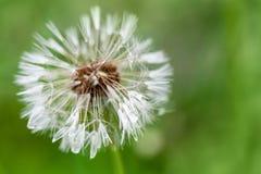 Fiore bagnato del dente di leone con lanugine, macro foto fotografie stock
