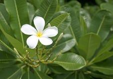 Fiore Bali. Immagine Stock