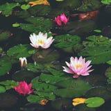 Fiore Bella ninfea di fioritura sulla superficie dell'acqua Fondo vago variopinto naturale & x28; Nymphaea& x29; fotografia stock libera da diritti