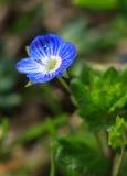 Fiore bello del giardino Fotografia Stock Libera da Diritti