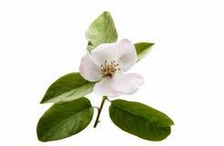 Fiore bello della cotogna Fotografia Stock Libera da Diritti