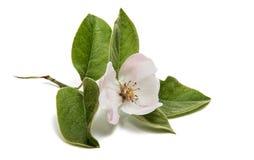 Fiore bello della cotogna Fotografie Stock Libere da Diritti