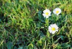 Fiore bello della margherita bianca nel giardino Fotografia Stock Libera da Diritti