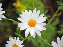 Fiore bianco Fotografie Stock