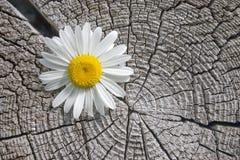 Fiore bianco. Immagine Stock Libera da Diritti