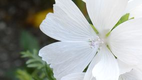 Fiore bianco video d archivio