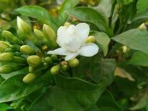 Fiore bianco fotografia stock libera da diritti