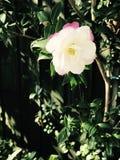 Fiore bianco Immagini Stock Libere da Diritti
