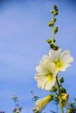 Fiore bianco con cielo blu Immagine Stock