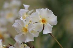 Fiore bianco con il centro giallo Fotografie Stock Libere da Diritti