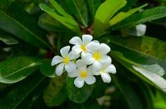 Fiore bianco con la foglia verde Fotografia Stock Libera da Diritti