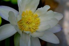 Fiore bianco con le foglie verdi ed il fondo soleggiato fotografia stock libera da diritti