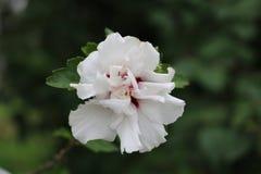 Fiore bianco con priorità bassa verde fotografia stock libera da diritti