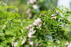 Fiore bianco con una tonalità del rosa su un albero Fotografie Stock Libere da Diritti