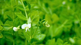 Fiore bianco dei piselli in fioritura Fotografia Stock